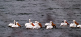 Pelicans on Lake Snelling