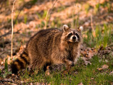 Charming Racoon_4