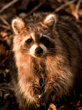 Charming Racoon
