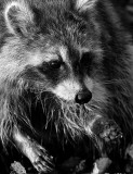 Charming Racoon_1