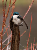 The Swallows_12