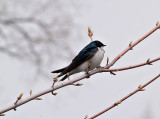 The Swallows_11