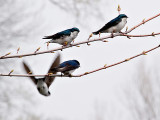 The Swallows_10