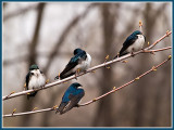 The Swallows_9