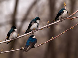 The Swallows_8