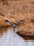 Great Blue Heron at Carlos Avery_1 rp.jpg
