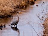 Great Blue Heron at Carlos Avery_2 rp crop.jpg