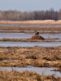 One of Hundreds Nesting Geese rp.jpg
