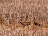 Sandhill Cranes in Tall Grass _1 rp.jpg