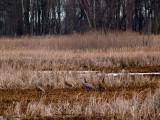 Sandhill Cranes in the Marshland rp.jpg