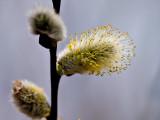 Springs Pussy Willow rp crop .jpg