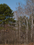 Tree Stand at Carlos Avery rp.jpg