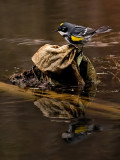 Yellow Rumped Warbler_1