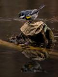 Yellow Rumped Warbler_2