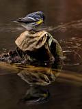 Yellow Rumped Warbler_3