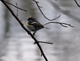 Yellow Rumped Warbler_4