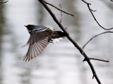 Yellow Rumped Warbler_6