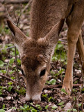 Little Buck.jpg