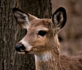 Little Buck_2