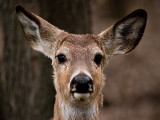 Little Buck_3