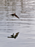Northern Rough-winged Swallow in Flight Over the Pond