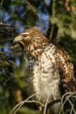 A Cooper's Hawk