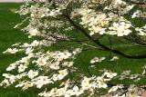 ... a Dogwood tree ...