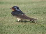 Boerenzwaluw / Barn Swallow