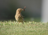 Roodkeelpieper / Red-throated Pipit
