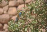 Bijeneter / European Bee-eater