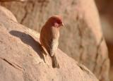 Sinairoodmus / Sinaï Rosefinch