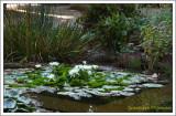Nymphaea...aquarium