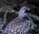 Pheasants, Grouse, Turkeys
