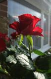 My Valentines Day Rose