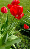 Tulip,s reaching for the sun