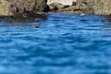 Phoque dans le parc naturel d'Iroise