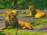 COLOR ME LION