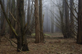 FoggyWoodsAdj1.jpg