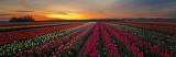 Tulip Sunrise Pano 2010 NR.jpg