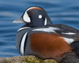 Harlequin Duck Male Resting