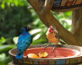 Superb starling  Red and Yellow Barbet02.jpg