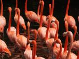 Carribean Flamingoes 17.jpg