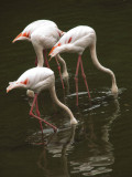 Jurong Bird Park-Lesser Flamingoes01.jpg