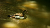 Egyptian Duck 02.jpg