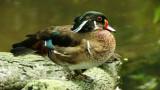 Carolina Wood  Ducks (2).jpg