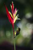 Sunbird 04.jpg