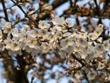01 Cherry Blossoms in Osaka01.jpg