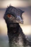 Emu - Taronga Zoo