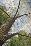 Dogwood Tree - 20th April 2008