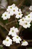 Dogwood Tree - 26th April 2008